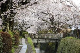 哲学の道-桜-ソメイヨシノ-京都-日本の写真素材 [FYI04665387]