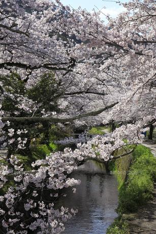 哲学の道-桜-ソメイヨシノ-京都-日本の写真素材 [FYI04665389]