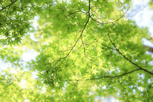 逆光の新緑の写真素材 [FYI04665478]