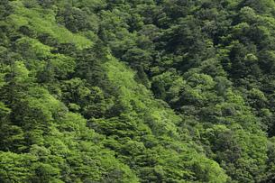 菰野町 新緑 雑木林の写真素材 [FYI04665480]
