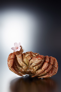桜の花を持つ毛ガニ(hair crab)の写真素材 [FYI04666253]