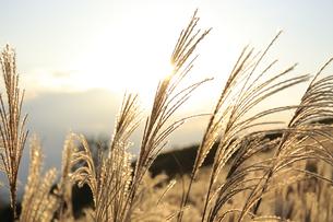 黄金色に輝く葛城高原のすすき 2018年 秋の写真素材 [FYI04666254]