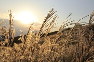 黄金色に輝く葛城高原のすすき 2018年 秋の写真素材 [FYI04666270]