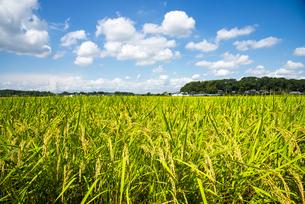 関東平野実る稲穂と夏の空の写真素材 [FYI04666442]