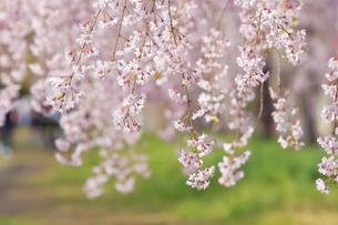 日中線記念自転車歩行者道のしだれ桜の写真素材 [FYI04666533]