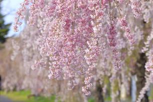 日中線記念自転車歩行者道のしだれ桜の写真素材 [FYI04666536]