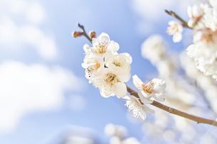 梅の花と青空の写真素材 [FYI04666580]