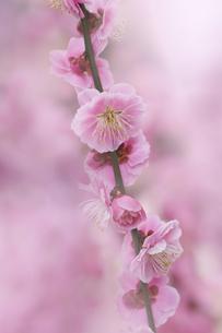 梅の花の写真素材 [FYI04666592]