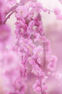 梅の花の写真素材 [FYI04666593]