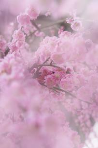 梅の花の写真素材 [FYI04666594]