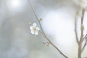 梅の花の写真素材 [FYI04666600]