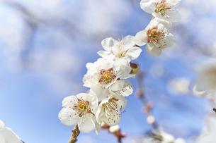 梅の花と青空の写真素材 [FYI04666601]