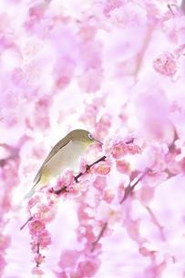梅の花とメジロの写真素材 [FYI04666602]