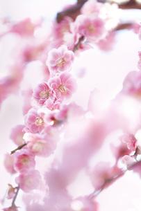 梅の花の写真素材 [FYI04666603]