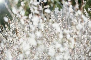 梅の花の写真素材 [FYI04666604]