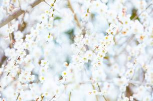 満開の白い梅の花の写真素材 [FYI04666605]