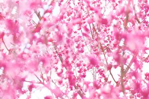 満開のピンクの梅の花の写真素材 [FYI04666606]