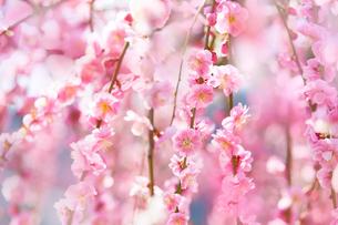 満開のピンクの梅の花の写真素材 [FYI04666607]