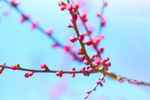 青空が背景の梅の蕾の写真素材 [FYI04666608]