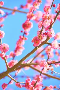 青空が背景の梅の花の写真素材 [FYI04666609]