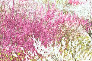 満開に咲いた白とピンクの梅の木の写真素材 [FYI04666610]