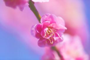 ピンクの梅の花のアップの写真素材 [FYI04666611]