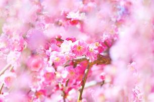 満開のピンクの梅の花の写真素材 [FYI04666612]