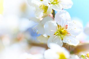 白い梅の花のアップの写真素材 [FYI04666613]
