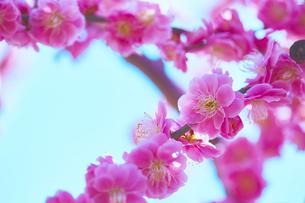 ピンクの梅の花のアップの写真素材 [FYI04666614]