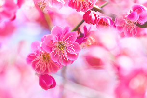 ピンクの梅の花のアップの写真素材 [FYI04666615]