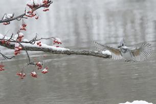 ヤマセミの羽ばたきの写真素材 [FYI04666662]