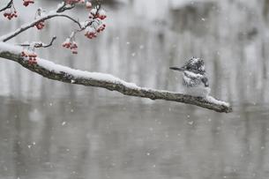雪降るなかのヤマセミの写真素材 [FYI04666676]