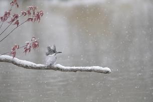雪降るなかのヤマセミの写真素材 [FYI04666689]