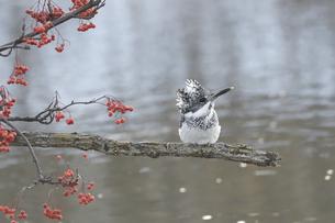 初冬のヤマセミの写真素材 [FYI04666697]