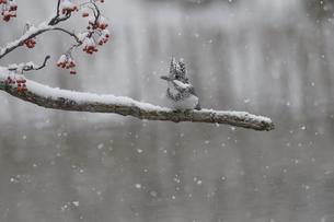 雪降るなかのヤマセミの写真素材 [FYI04666704]
