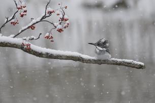 雪降るなかのヤマセミの写真素材 [FYI04666706]