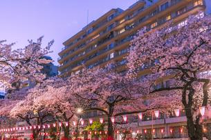 播磨坂のライトアップの桜と街明かり 東京夜景の写真素材 [FYI04666813]