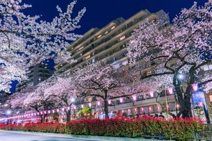 播磨坂のライトアップの桜と街明かり 東京夜景の写真素材 [FYI04666840]