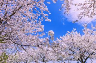 桜と雲の写真素材 [FYI04666857]