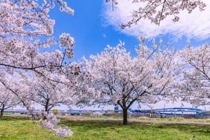 小松川千本桜と雲 東京の写真素材 [FYI04666858]