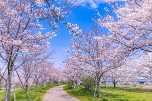 小松川千本桜 東京の写真素材 [FYI04666861]