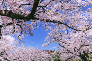 桜の写真素材 [FYI04666880]