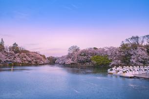 桜咲く井の頭恩賜公園の夕景 東京の写真素材 [FYI04667014]