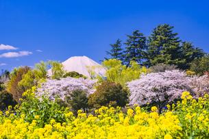 桜と菜の花の公園と富士山の写真素材 [FYI04667019]