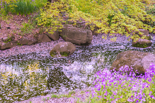 小川を流れる桜の花びらの写真素材 [FYI04667020]