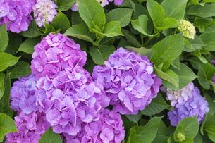 紫陽花の写真素材 [FYI04667029]