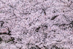 満開の桜の写真素材 [FYI04667106]