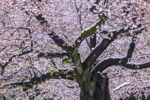 桜と春の雪の写真素材 [FYI04667111]