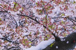 桜と春の雪の写真素材 [FYI04667112]