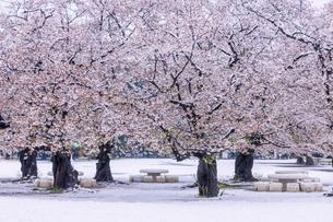 満開の桜と春の雪 東京の写真素材 [FYI04667113]